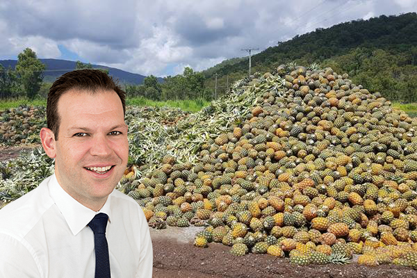 Article image for Golden Circle accused of 'abusing the situation' as tonnes of pineapples go to waste