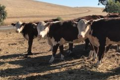 The heifers headed to Sydney's most iconic beach