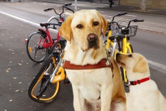 Share bikes confusing guide dogs, putting blind people at risk