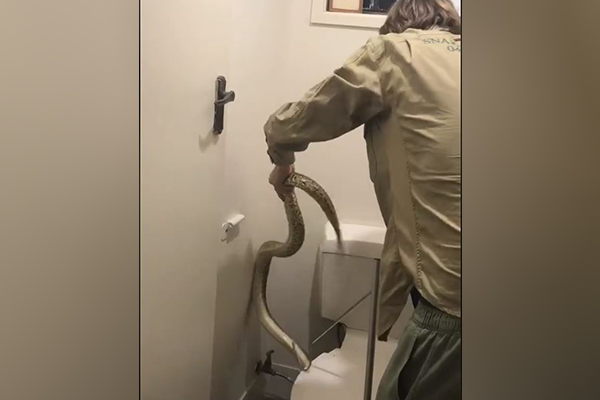 Article image for WATCH | Snake catcher retrieves grumpy carpet python from toilet