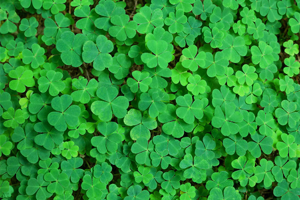 Article image for Sydney set for a 'greening' on St Patrick's Day