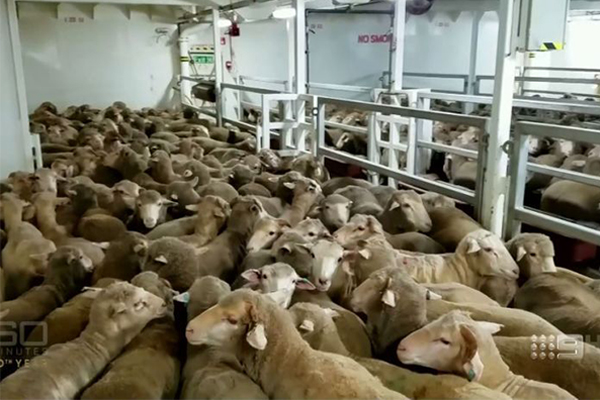 Article image for Live export association admits 'things need to change'