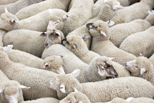 Article image for Labor to ban live exports if it wins government