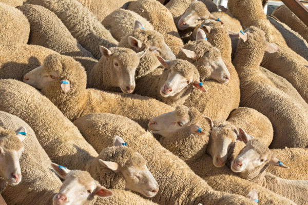 Article image for Ending live exports a 'win' for farmers, Shadow Agriculture Minister says