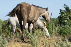 Brumby bill to stop the culling of snowy mountain horses