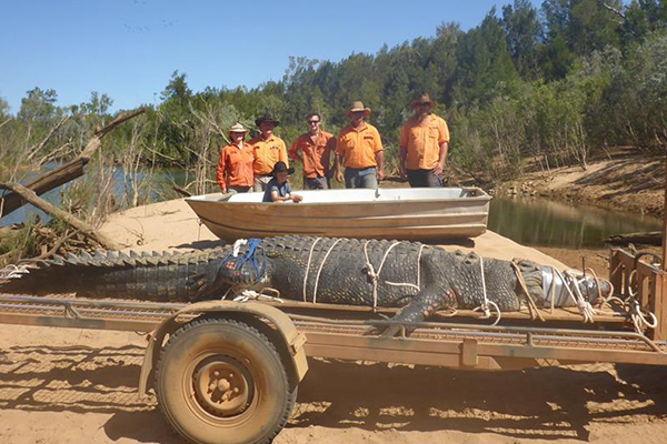 Article image for Croc handler says 4.7m 'monster' crocodile shouldn't lead to culls