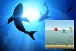 Shark nets or SMART drumlines, what's more effective?