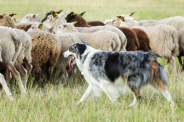 Article image for Why sheep dogs are making a comeback across rural farms