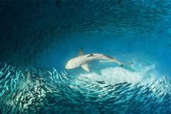 Sharks conservationists stirring up the water over drumline technology