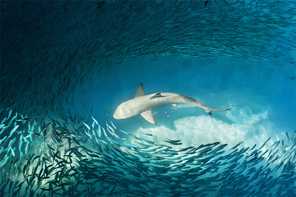 Article image for Sharks conservationists stirring up the water over drumline technology