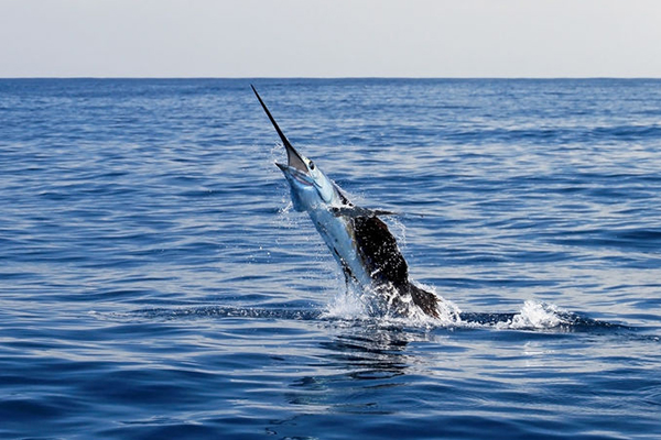 Article image for Two brothers speared in freak marlin accident