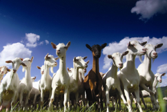 Baby formula boom sees goat dairy industry blossom