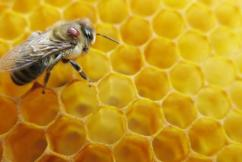 Native honey bees could hold the secret to pollination inside a green house.