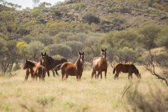 Environment Minister urged to reconsider brumby removal