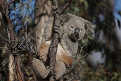 Koala breakthrough following bushfire devastation