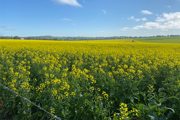 Article image for Canola field in NSW Central West