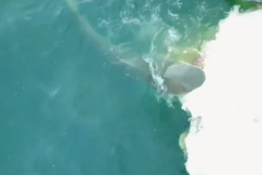 Close encounter: Boaties caught up in shark feeding frenzy