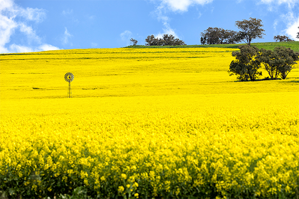 Article image for 'Out of control' tourists trespass on canola farmers' land