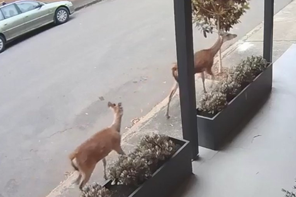 Article image for Sydney mayor has 'no i-deer' where inner west's surprise visitors came from