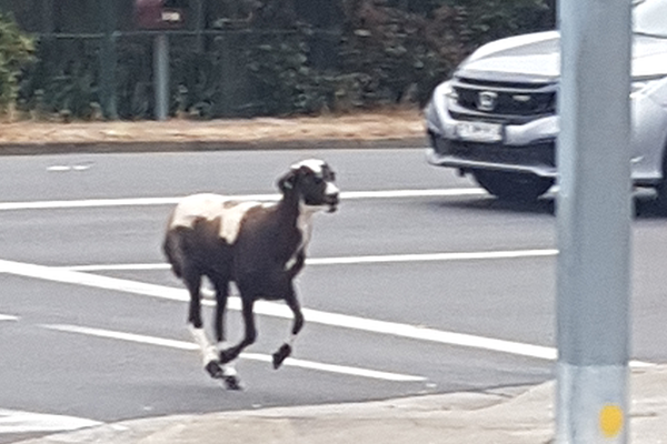 Article image for Wild day in Sydney: Goat stops traffic