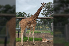 The big reveal: Baby giraffe bestowed with true blue name by 2GB listeners