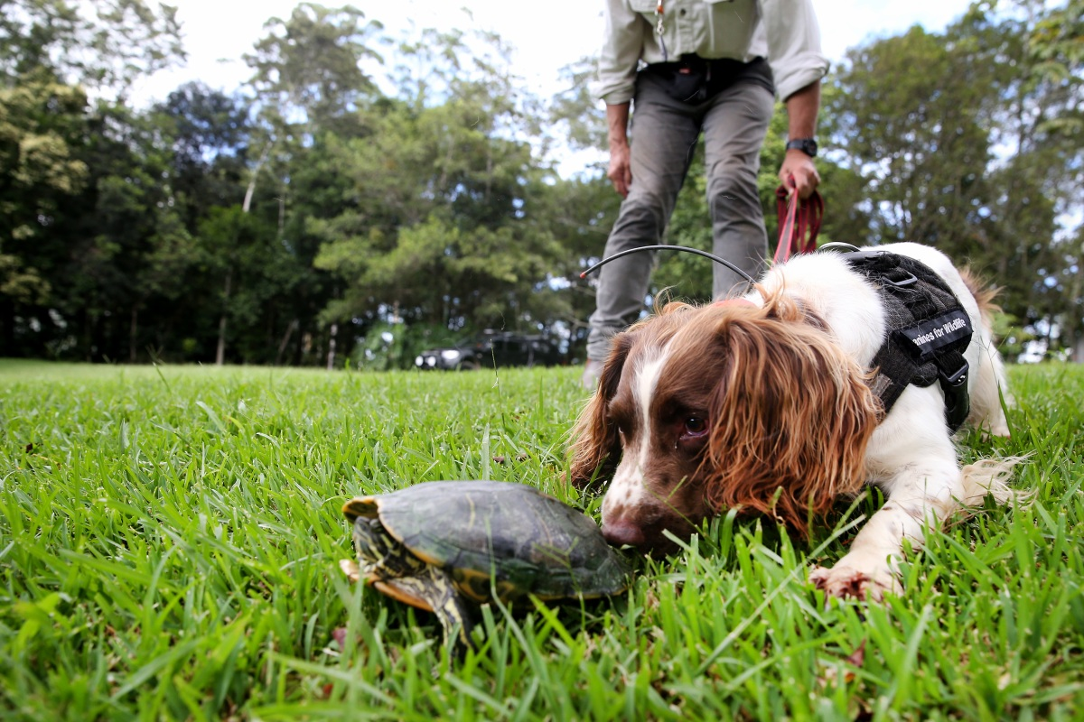 Article image for Hard-working canines sniff out feral turtle invasion